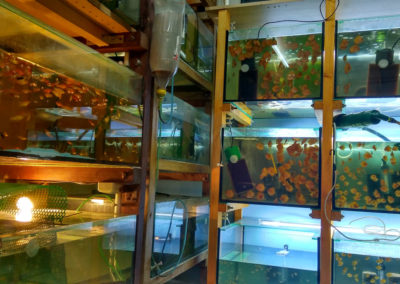 Hodowla ryb akwariowych (11)