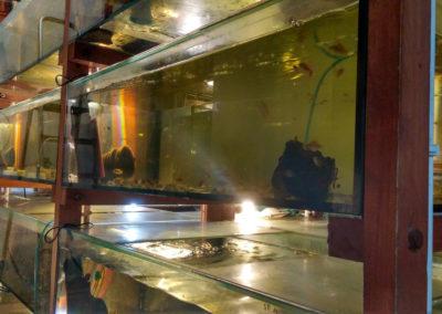 Hodowla ryb akwariowych (16)