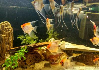 Hodowla ryb akwariowych (4)