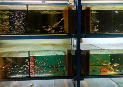 Hodowla ryb akwariowych (6)